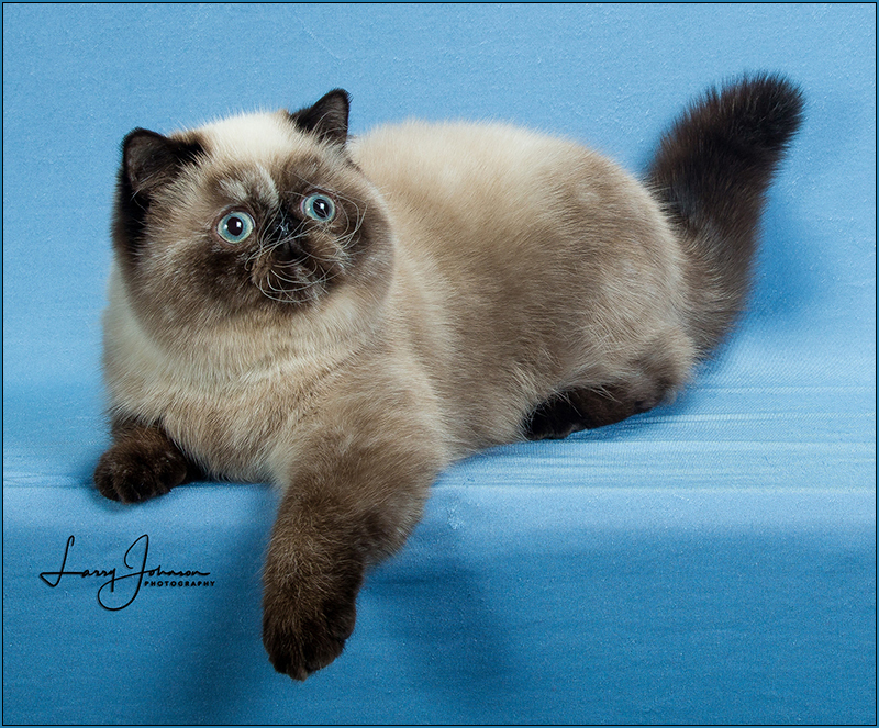 Loveknot Cattery: Exotic Shorthairs & Persians